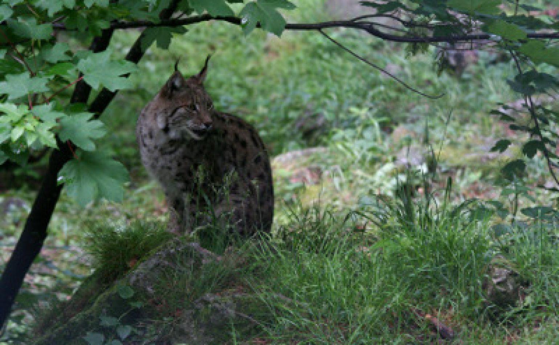 Journée du lynx