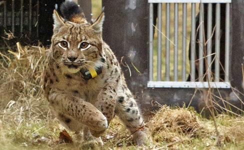Juri, un lynx lâché dans le Palatinat, fréquente les Vosges du Nord